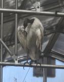 Sacred Ibis 3