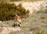 Lepus europaeus - Poljski zajec - Brown hare