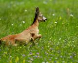 Capreolus capreolus - Srna - Roe deer