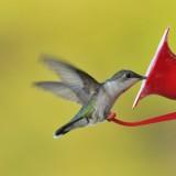 Yard Birds - Mostly Hummingbirds