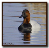 A Canvasback Duck