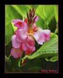 Pink Orchid Extrodinar