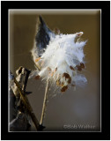 Common Milkweed Seed Pod As Seen In A Morning Frost