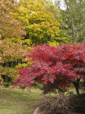 Red Japanese Maple-1