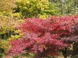 Red Japanese Maple-2