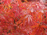 Red Japanese Maple Up Close