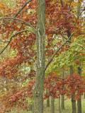 Walnut & Red Oak