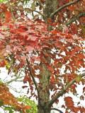 Red Oak-1