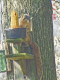 Red Fox Squirrel-2