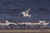 Elegant Terns from 1997