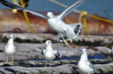 Black-tailed Gull 2009
