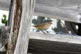 Palm Warbler at Bowerman Basin