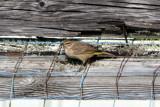 Palm Warbler 11-1- 2009