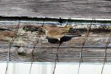 Palm Warbler 11-1-2009