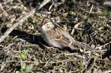 Clay Colored Sparrow 11-1-2009