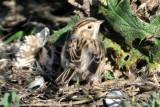 Clay Colored Sparrow Bowerman Basin