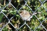 Young Clay Colored Sparrow 11-1-2009