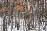 Snow & maples
