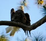 10-21-09 eagle 6311.jpg