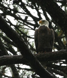 11-1-09 rainy day eagle 8008.jpg