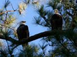 11-6-09 eagle pair 8285.jpg