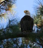 11-6-09 eagle  8477.jpg