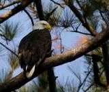 11-7-09 eagle 8609.jpg
