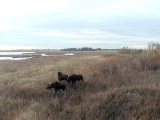 Big Lake Webcam: Moose Family - captured by Elke