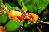 9950 Order Hemiptera. ***Explanation***