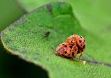 Mating Coleoptera