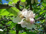 Apple & Cherry Blossom May 2004