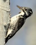 Woodpecker Three-toed D-003.jpg
