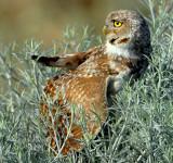 Owl BurrowingS-114.jpg