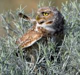 Owl BurrowingS-116.jpg