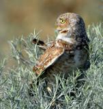 Owl BurrowingS-115.jpg