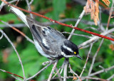 Warbler Black-throated Grey D-011.jpg