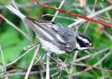 Warbler Black-throated Grey D-012.jpg
