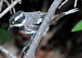 Warbler Black-throated Grey D-014.jpg