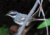 Warbler Black-throated Grey D-016.jpg