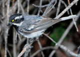 Warbler Black-throated Grey D-017.jpg