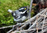 Warbler Black-throated Grey D-018.jpg