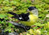 Goldfinch Lesser D-002.jpg