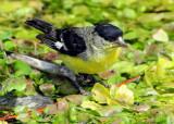Goldfinch Lesser D-003.jpg
