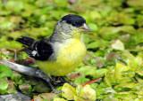 Goldfinch Lesser D-007.jpg