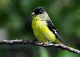 Goldfinch Lesser D-008.jpg
