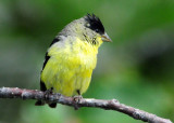 Goldfinch Lesser D-009.jpg