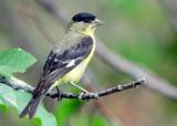 Goldfinch Lesser D-011.jpg