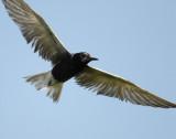 Tern Black D-202.jpg