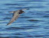 Tern Black D-006.jpg