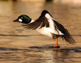 Goldeneye CommonD-020.jpg